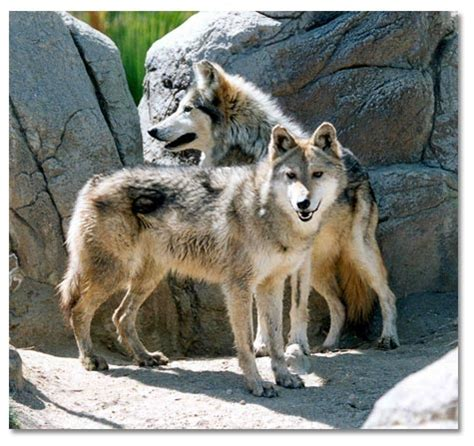 wolf s wolf and wolves desertusa