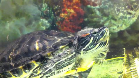 Do Eared Sliders Shed by Res Excessive Skin Shedding