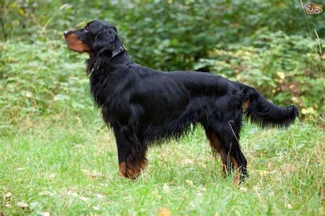 gordon settee gordon setter dog breed information facts photos care