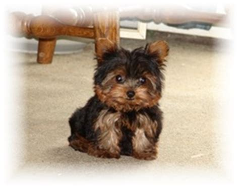 teacup yorkies for sale in ohio quality akc yorshire terrier pups for sale