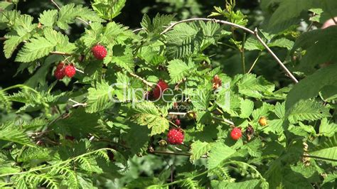 Berry Picking 2 by Picking Berries Royalty Free And Stock Footage