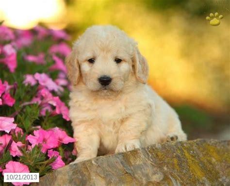 mini goldendoodles sale 17 best images about mini goldendoodles on