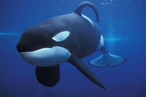 dear willy the true story of a well lived books keiko the killer whale from free willy and his