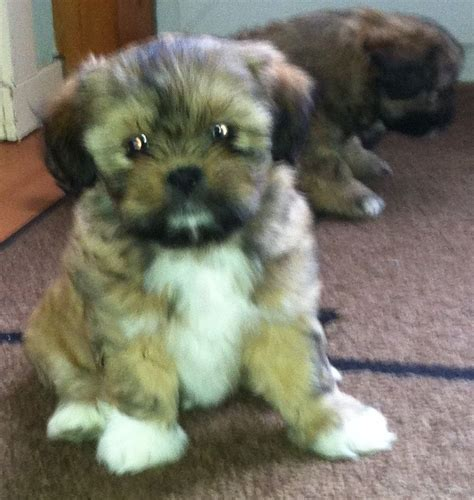 shih tzu puppies for sale 400 shih tzu puppies for sale currie midlothian pets4homes