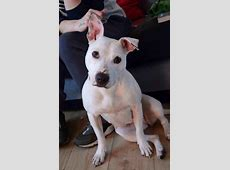 Misty - Staffordshire Bull Terrier Cross - ARC Dog Rehab I'm Lost