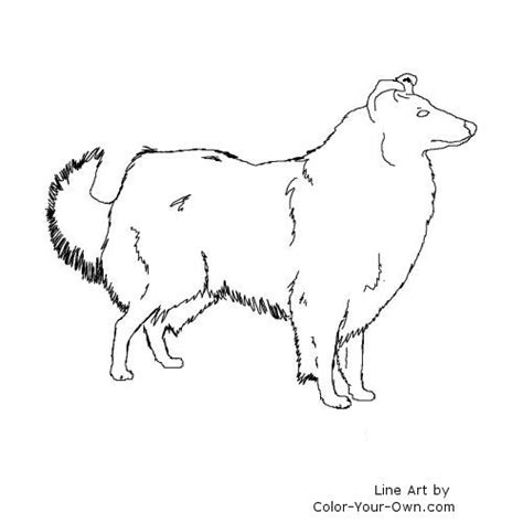 rough collie drawing coloring pages