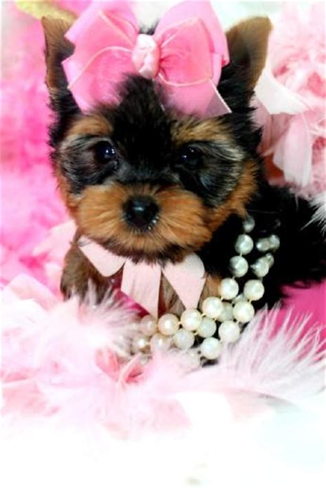 teacup yorkie allergies teacup terrier rescue uk dogs our friends photo