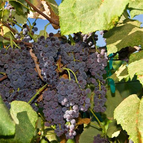 bare root table grape vine eastern concord seedless groworganic com