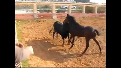 caballo y muchacho el el caballo y el toro jugando youtube