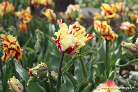flower picture picture of tulip flower pictures 52