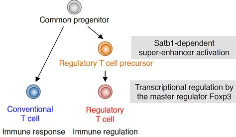 frontiers the of regulatory t guidance of regulatory t cell development by satb1