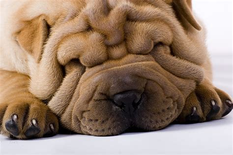 dogs with skin dogs with folds and wrinkles often develop skin conditions such as fold dermatitis