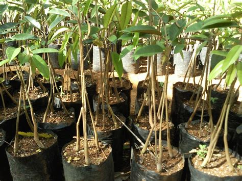 Bibit Durian Montong Bawor bibit pohon duriah tukang taman