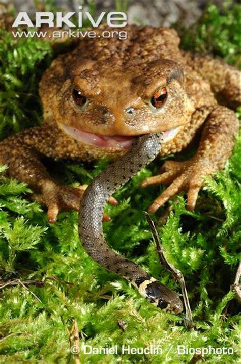 rana alimentazione common toad photo bufo bufo a24499 arkive