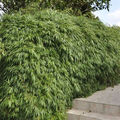 Taille Bambou Fargesia by Bambou Non Tra 231 Ant Fargesia Rufa Plantes Et Jardins