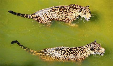 imagenes del jaguar en su habitat jaguar todo sobre el animal salvaje h 225 bitat y