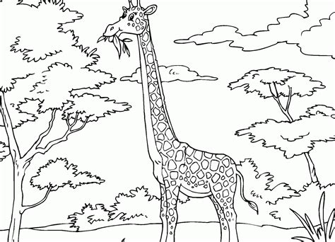 giraffe eating coloring pages giraffes coloring page coloring home