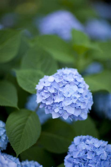 Hydrangea Macrophylla Endless Summer 4457 by Morning Eye Endless Summer Plant Talk