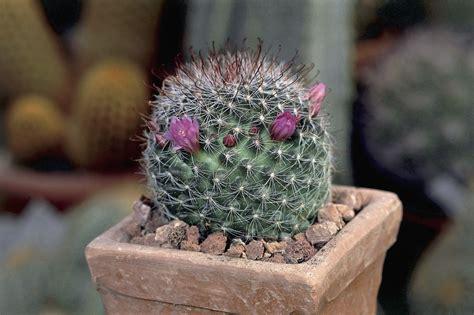 grow  showy powder puff cacti plant