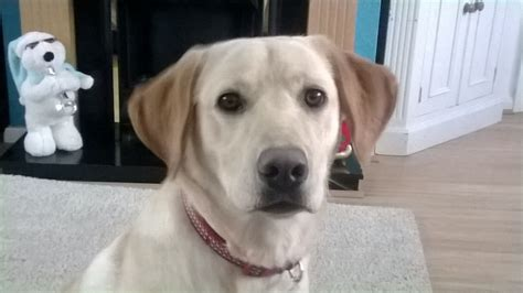 9 month puppy for sale 9 month golden labrador puppy stafford staffordshire pets4homes