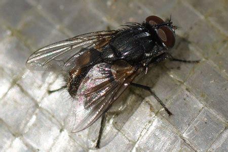 grote zwarte vliegen in huis شرکت سمپاشی آرمان توسعه پاک زیست