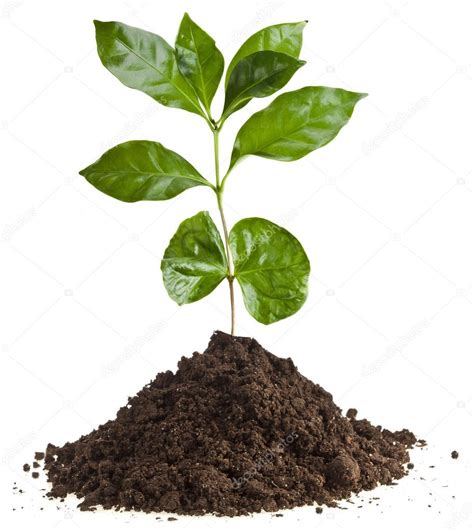 Läuse Auf Pflanzen 3917 by Coffee Plant Seedling In The Pile Ground Soil Isolated On