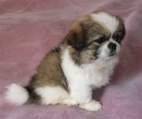 pekingese puppies image of pekingese puppy on pink bed jpg 1 comment