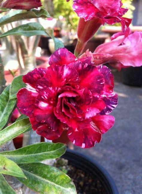 9 Prettiest Flower Bouquets From Missyflowers by Pin De N Poy En Adenium Dessert