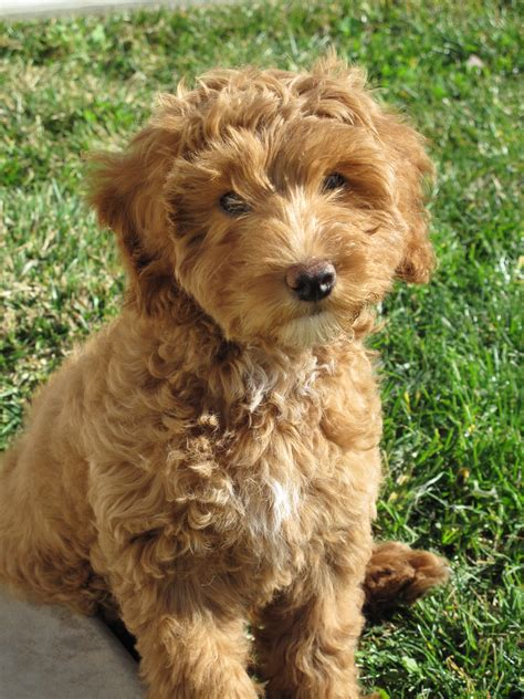 mini labradoodle puppies mini labradoodle fidos spots coats minis and names