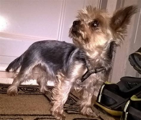 teacup yorkie for sale uk teacup terrier for sale trimdon station county durham pets4homes