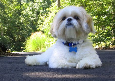 what is a shih tzu span gallery of pictures of shih tzu on animal picture society