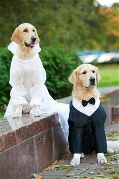 golden retriever dressed up wedding with pets on wedding dogs wedding and horses