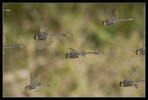 from the literature mass migrations in dragonflies the