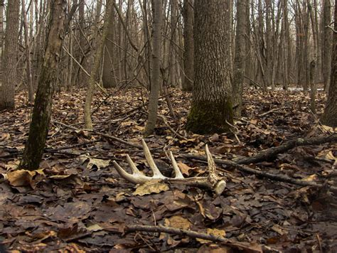 Looking For Deer Sheds by The Best Weather Conditions For Shed Legendary