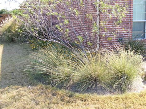 pas grass swinging plantfiles pictures pine muhly muhlenbergia dubia by