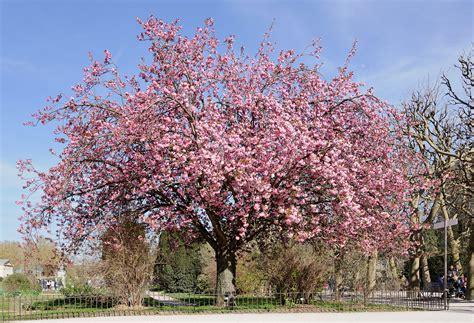 cherry tree genus prunus serrulata