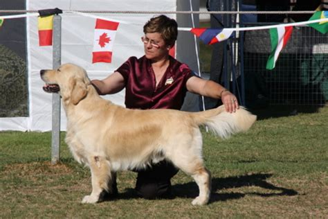 golden retriever puppies for sale adelaide golden retriever sale adelaide merry photo