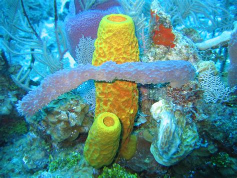Purple Vase Sponge File Sponges In Caribbean Sea Cayman Islands Jpg