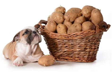 can dogs eat potatoes potatoes for dogs 101 can dogs eat potatoes