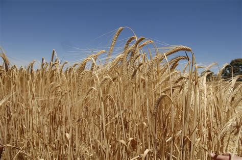 New Barley two new barley plant genes discovered farming uk news