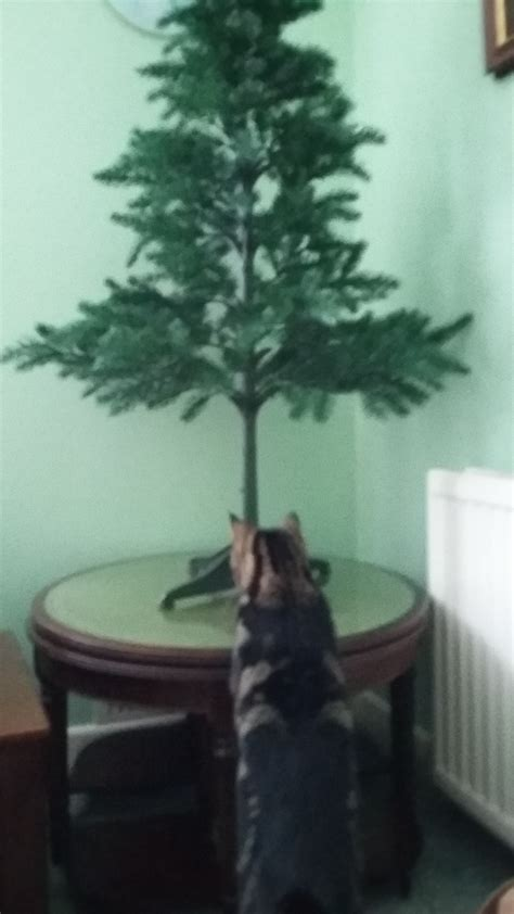 oh christmas tree your days might be numbered kitty