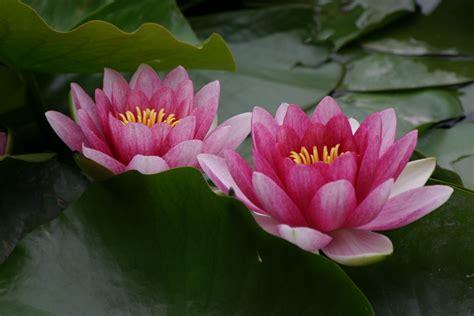 Lotus flower buddhism quotes mightylinksfo