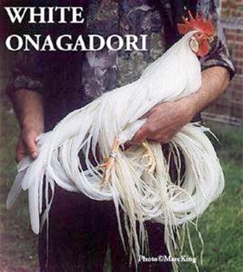 Anakan Ayam Onagadori ayam ekor panjang itu bernama onagadori klub burung