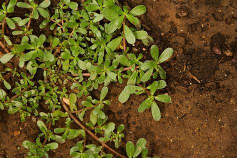 purslane  tough  edible groundcover la times