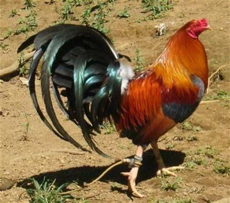 gallos de pelea mexicanos 2016 las aves de combate y el cambio de pluma