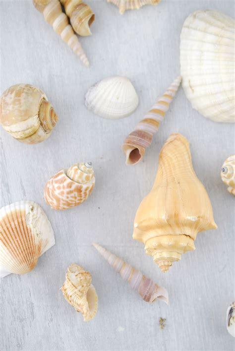 Seashell Vase Filler by Large Shell Vase Filler Mix 3 Lb