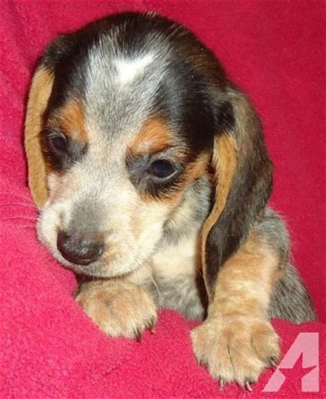 bluetick beagle puppies for sale beautiful bluetick chocolate ticked colored beagle puppies for sale for sale in
