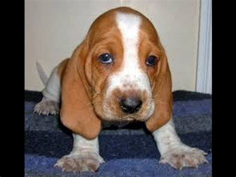 basset hound puppies virginia basset hound puppies dogs for sale in virginia virginia va 19breeders