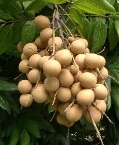 Bibit Kelengkeng Dalam Pot tanaman kelengkeng aroma durian bibitbunga