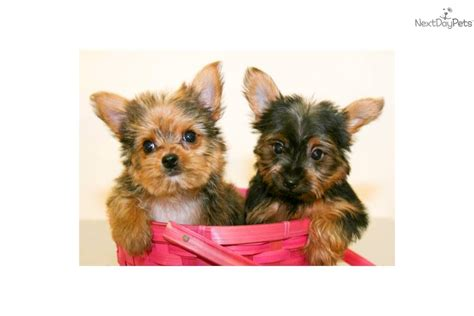 goldies yorkies meet goldie a terrier yorkie puppy for sale for 599 teacup goldie